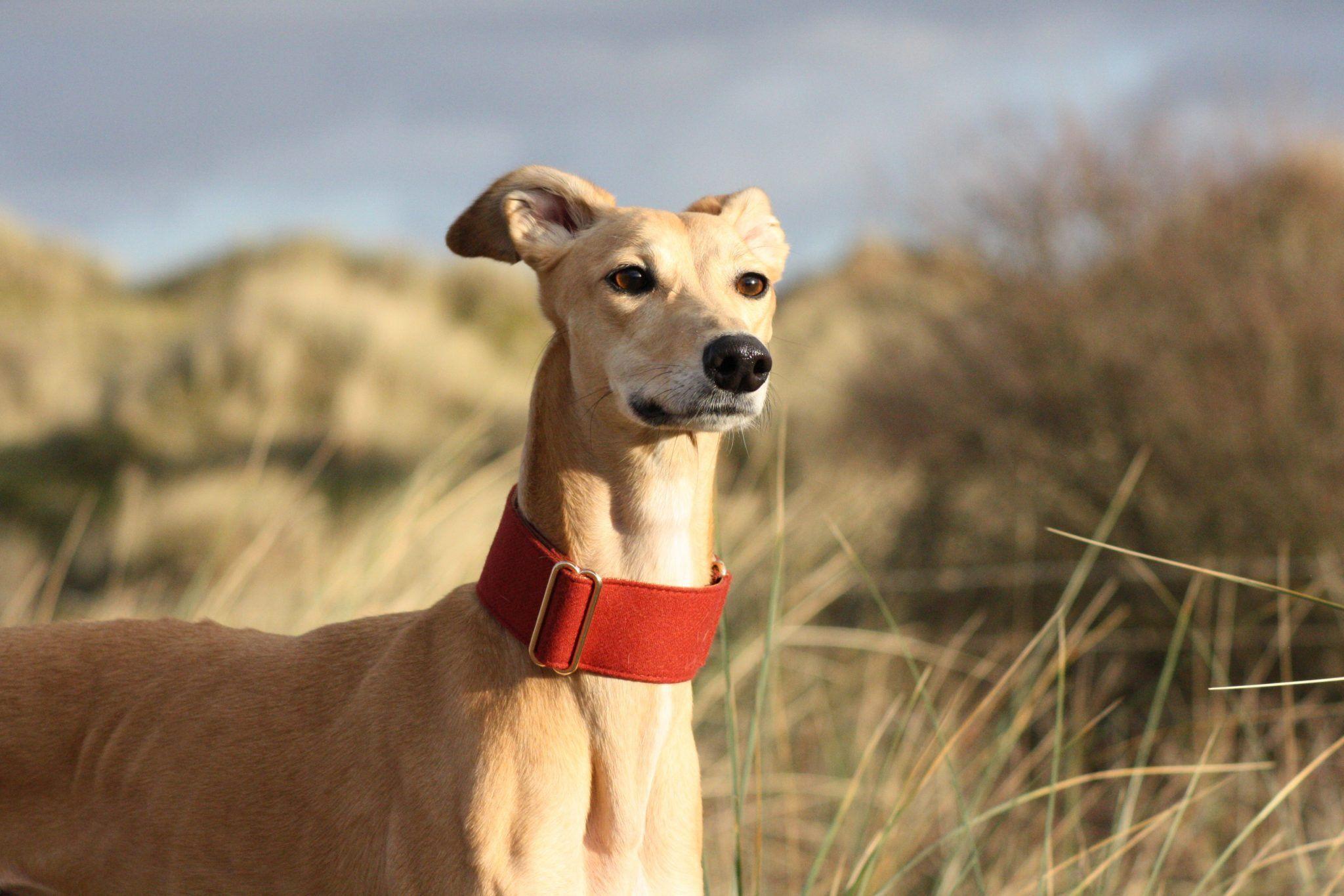 whippet greyhound martingale
