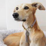 whippet collar greyhound