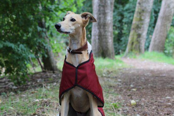 whippet greyhound coat