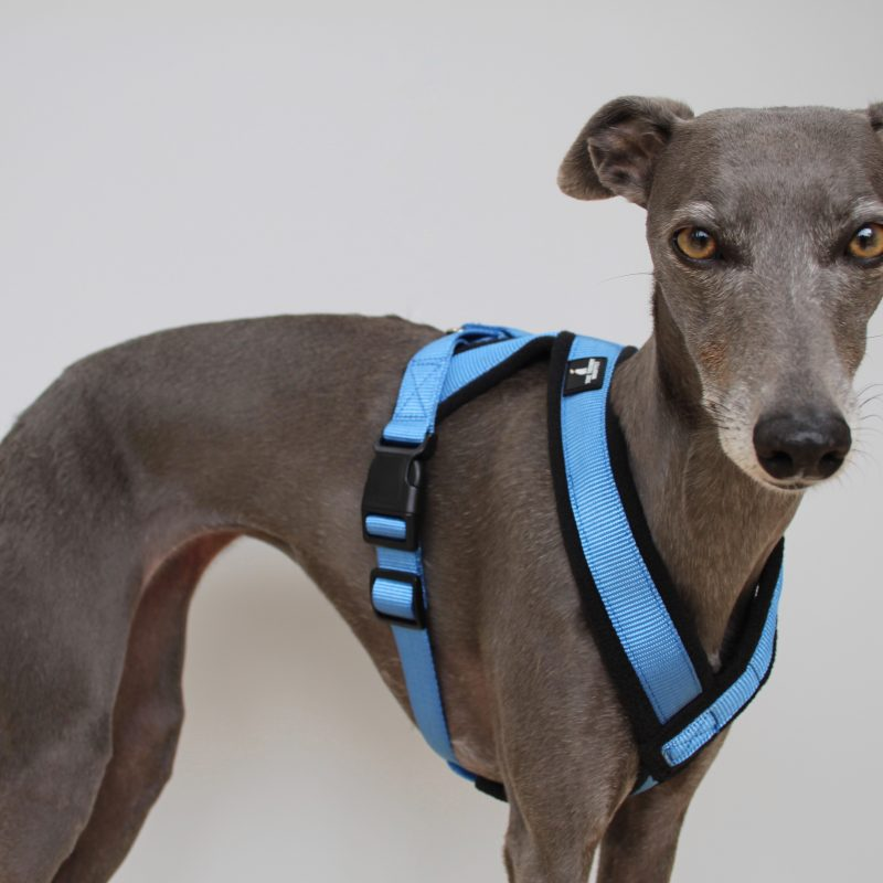 Blue Padded Fleece Whippet Harness Greyhound Italian Lurcher