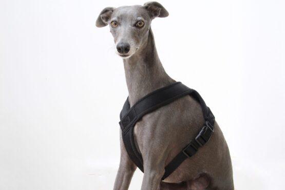 whippet greyhound harness